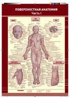 Поверхностная анатомия. В 2-частях
